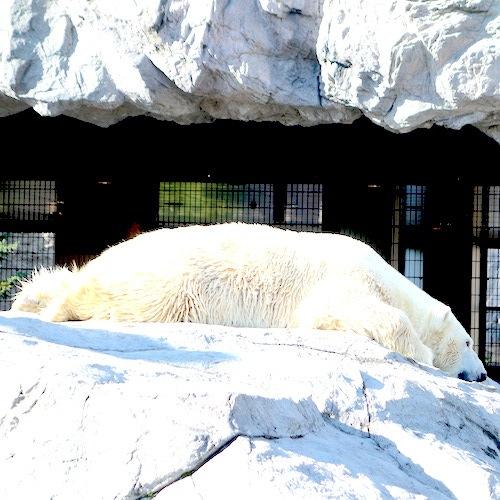 ほかの動物園ではなかなか見ることができない光景が見られる〜旭山動物園〜