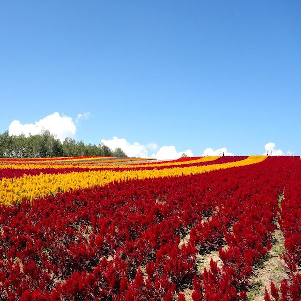 鮮やか晴れやか伸びやか、四季彩の丘を観賞しました。