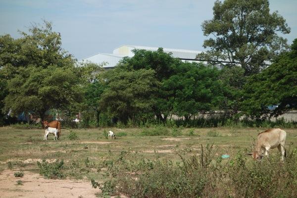 ヴィエンチャン郊外の牛