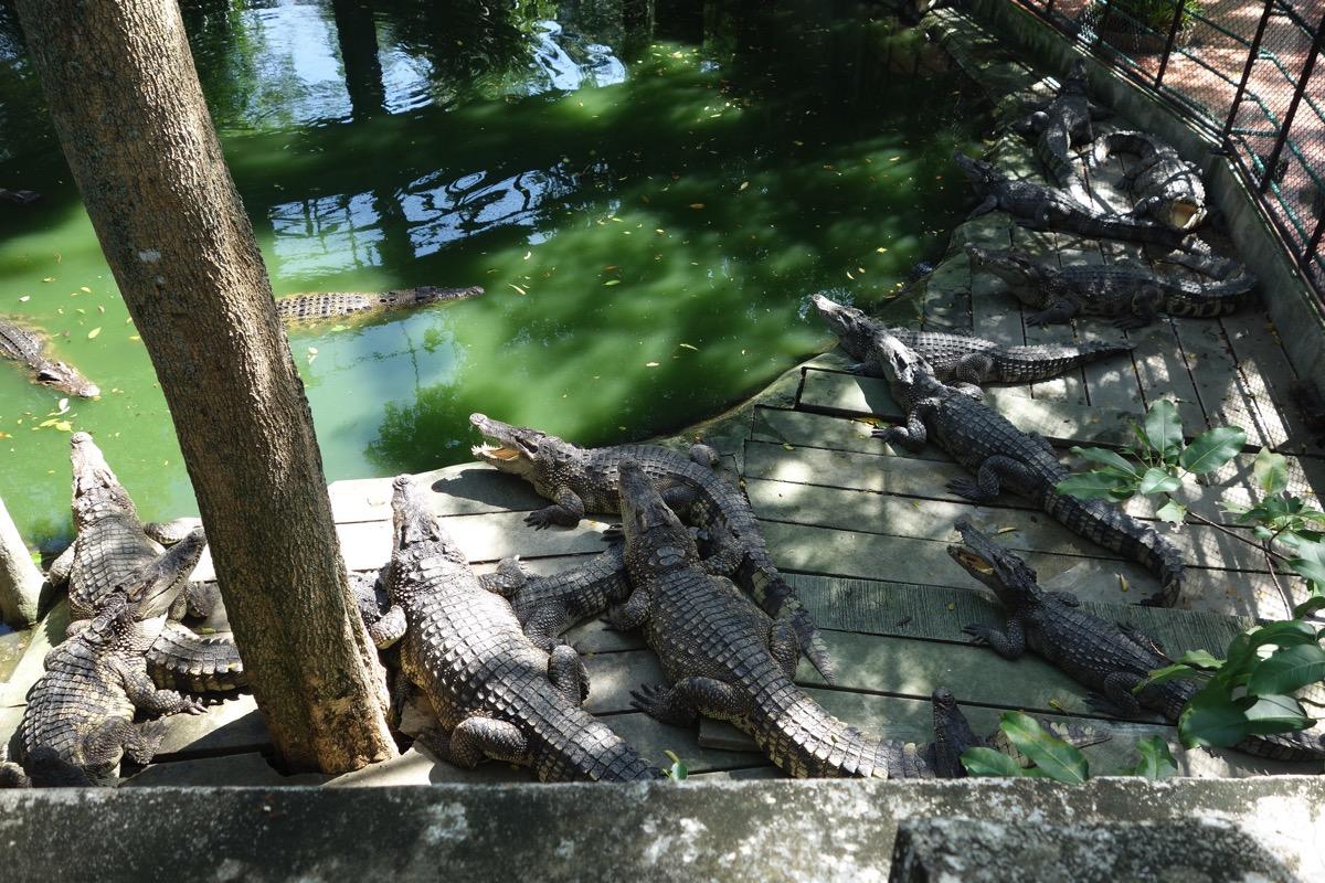 crocodilefarm8